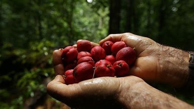blushwood-berries-promising-cure-for-certain-cancers-5