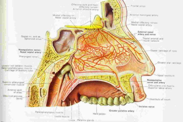 Nasalvascularsupply