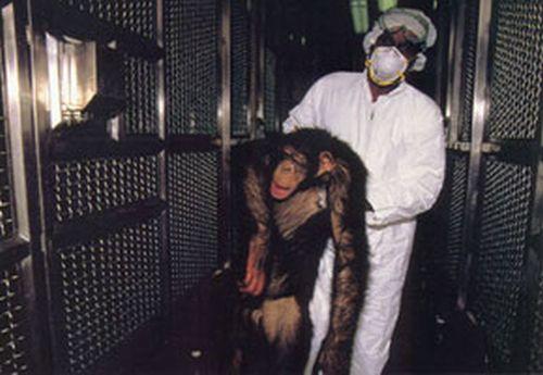 157_unconscious-chimp-resca